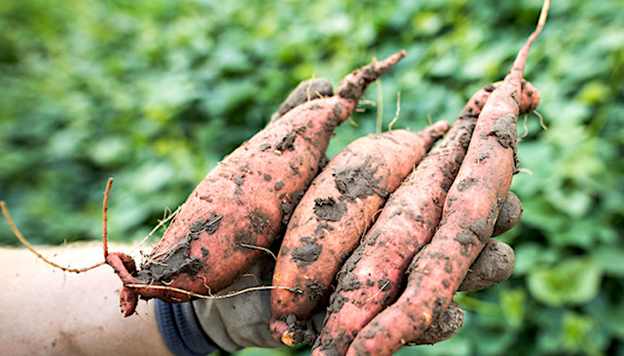 Sweet Potatoes Battles with Cancer Disease