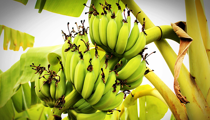 7 Health Benefits Of Green Banana That You Didn't Know About